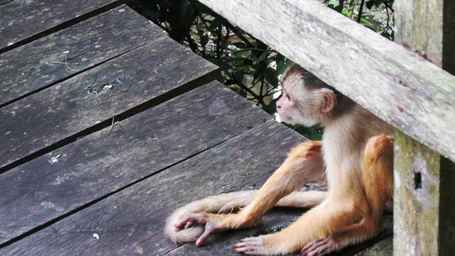 Macaco-capuchinob